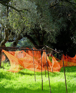 the-rebirth-of-corsican-olive-oil